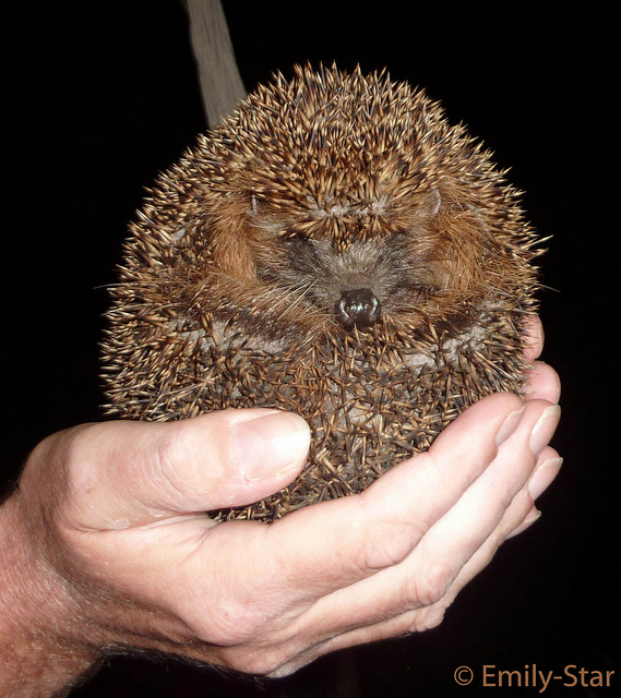Igel in der Hand © Emily-Star